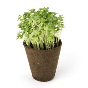 Microgreens Broccoli Samen