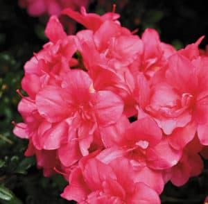 Rhododendron Obtusum Maraschino