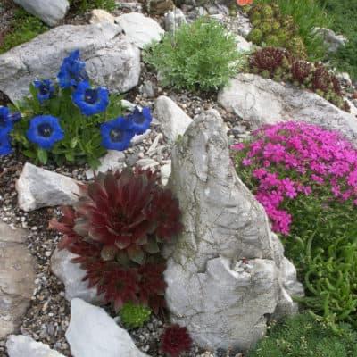 Steingarten mit Gentiana, Papaver, Phlox (3)