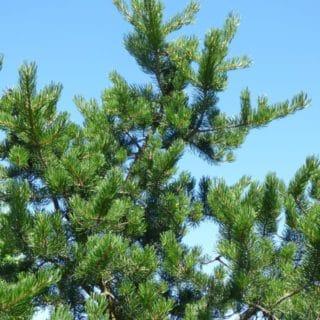 Profi -Pinus