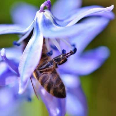 Bienenweiden
