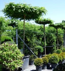 Dachförmige Bäume